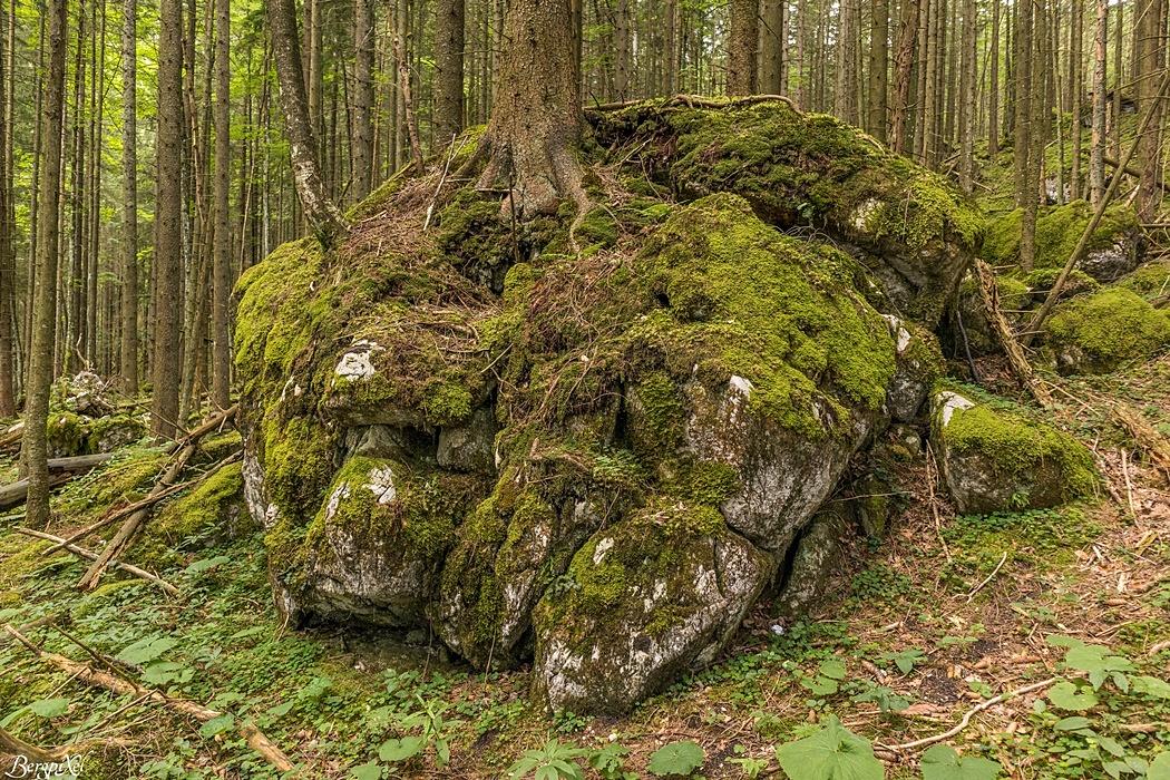 Der Abstieg führt durch einen beeindruckenden Wald.